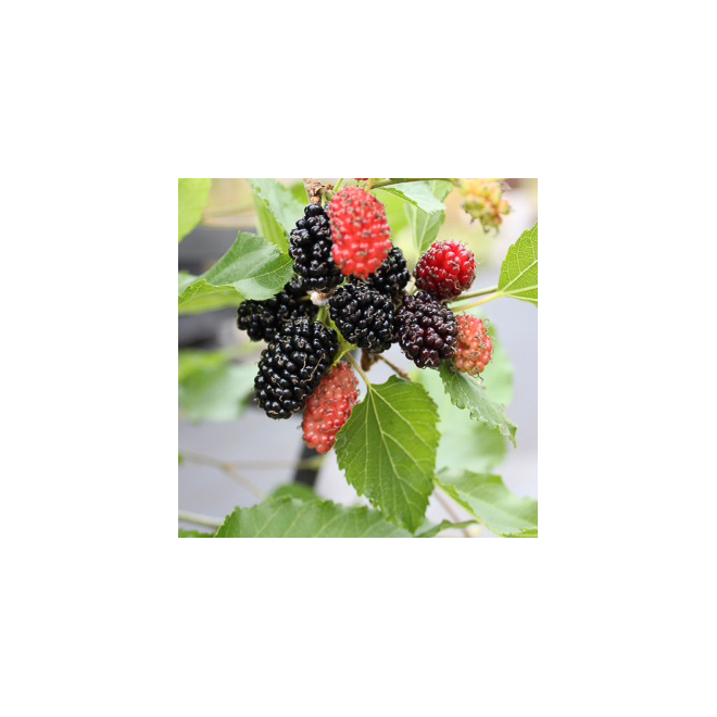 Mojo Berry/Dwarf Mulberry