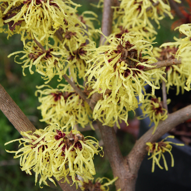 Hamamelis molis Pallida (Chinese Witch Hazel)