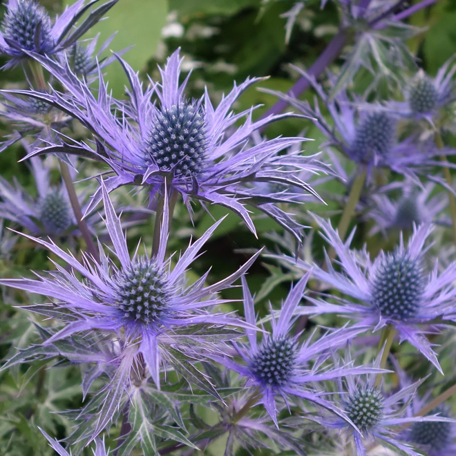 Eryngium Blue Waves