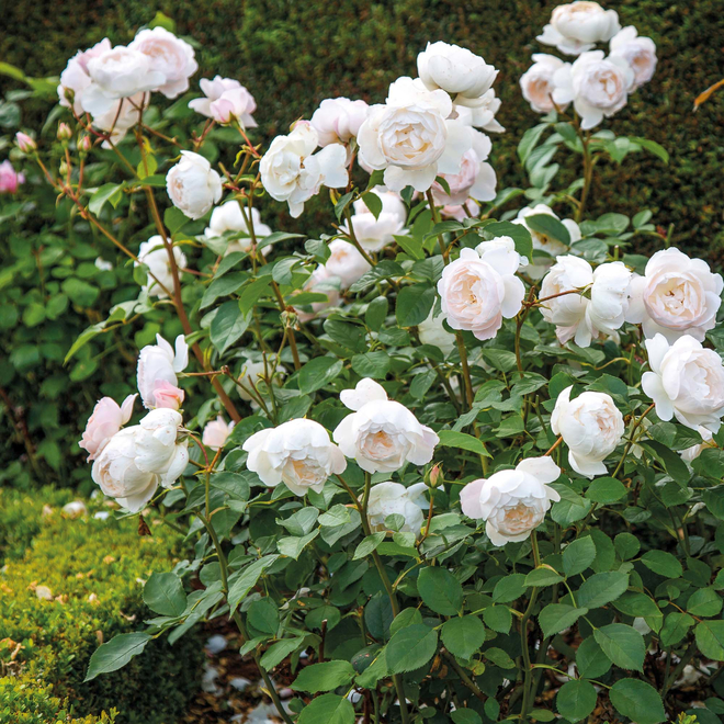 Rosa Desdemona (Auskindling). Image courtesty of David Austin Roses