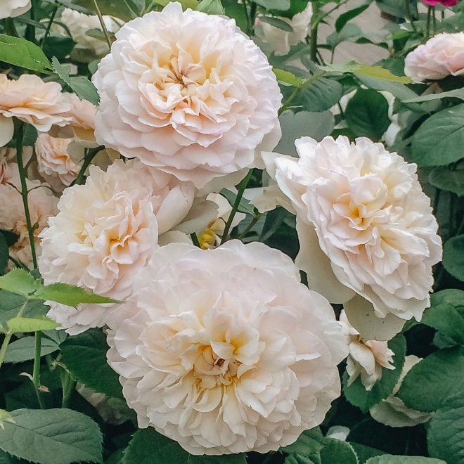 Rosa Emily Brontë (Ausearnshaw). Image courtesy of David Austin Roses