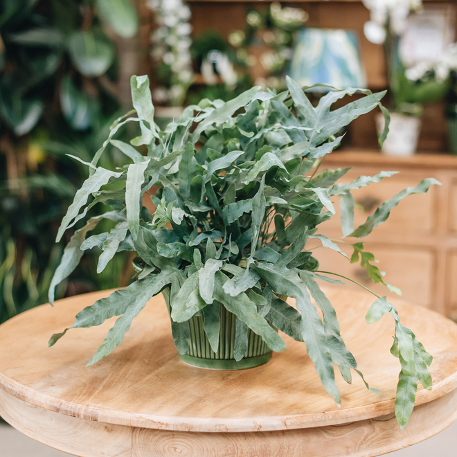 Phlebodium aureum Blue Star (pot not included)