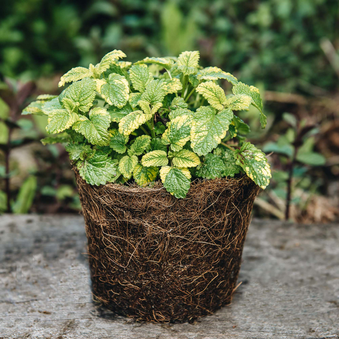 Variegated Lemon Balm in a Hairy Pot