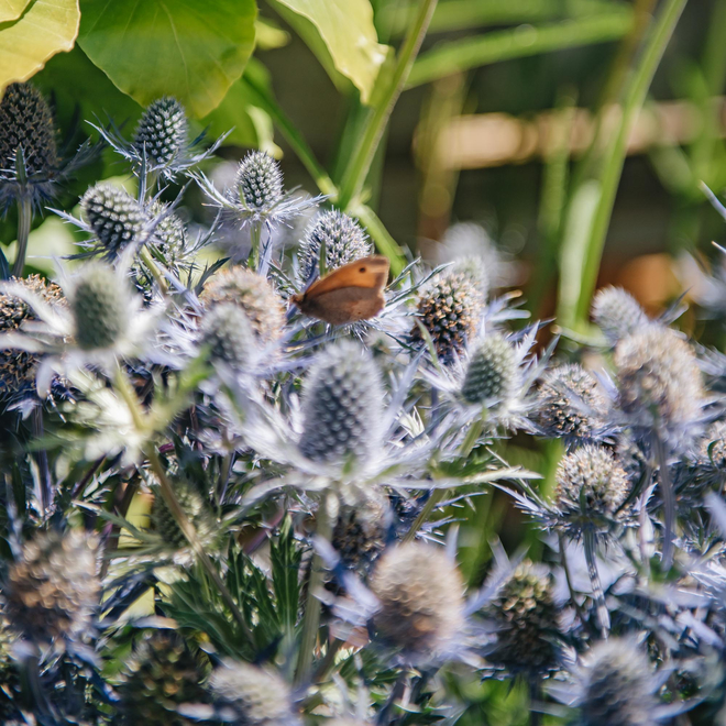 Eryngium Magical Blue Lagoon (detail with butterfly)
