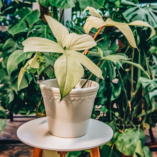 Philodendron Florida Ghost (pot cover not included)