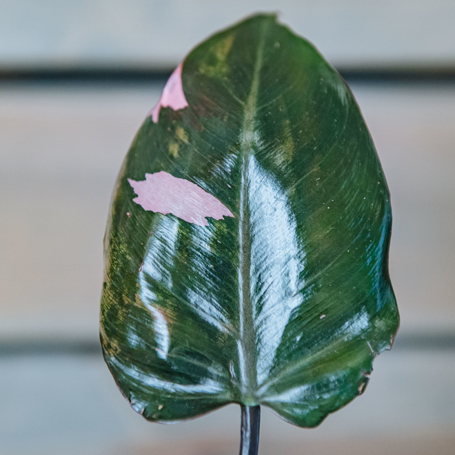 Philodendron Pink Princess (detail of leaf)