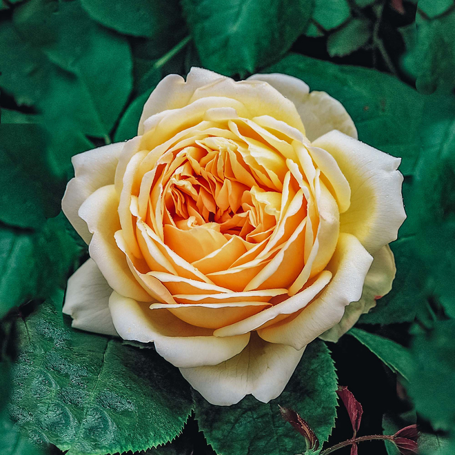 Rosa Jude The Obscure, Image courtesy of David Austin English Roses