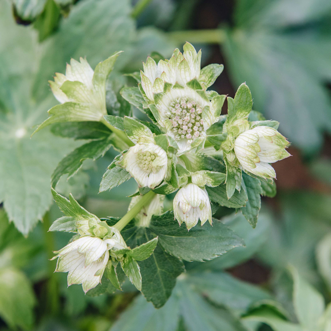 Astrantia Star of Billion (early green stage of flower)