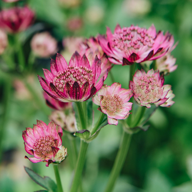 Astrantia major Venice