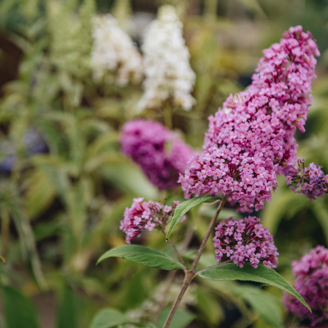 Buddleia davidii Pink Delight AGM, with B. Nanho White in the background