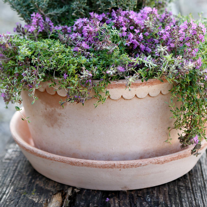 Rosa Helena Saucer for the Low/Dish Pot (available separately)
