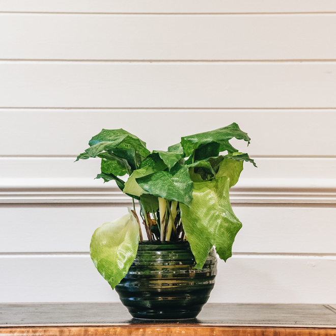Calathea Network (pot not included)