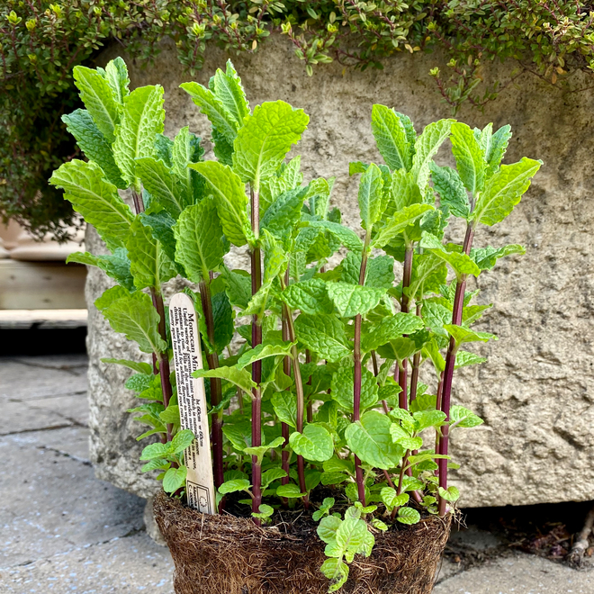 Moroccan Mint in a Hairy Pot
