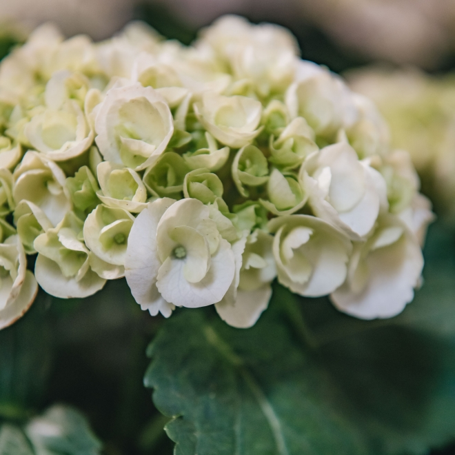 Hydrangea Crystal Palace, detail of flowers