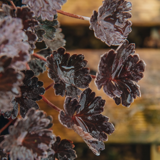Geranium Chocolate Candy, detail of scalloped foliage