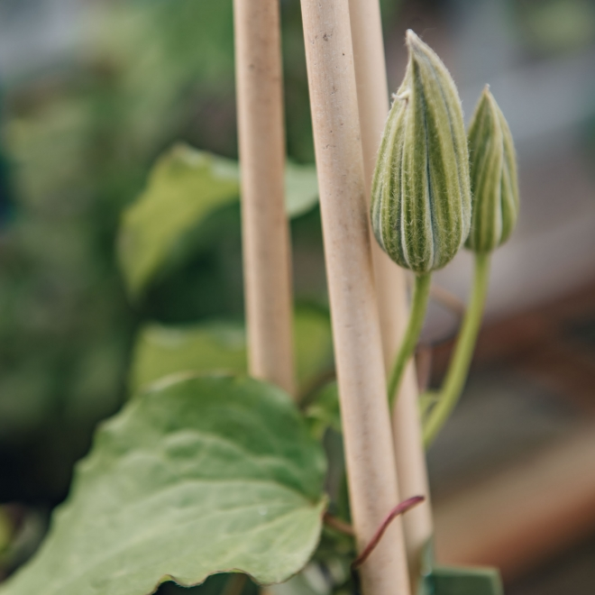 Clematis Carnaby, detail of buds and foliage