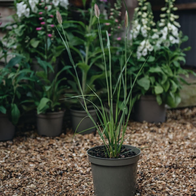 Pennisetum thunbergii Red Buttons