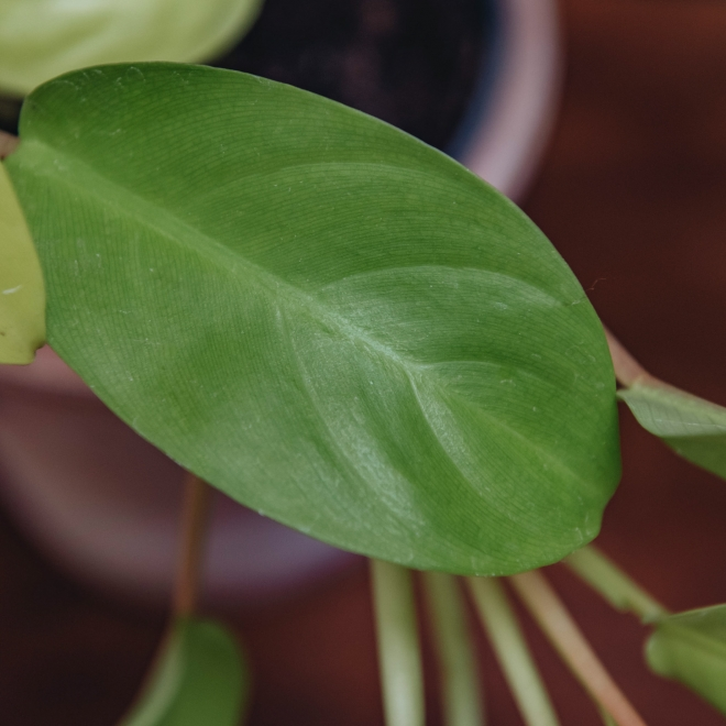 Philodendron Malay Gold - Detail