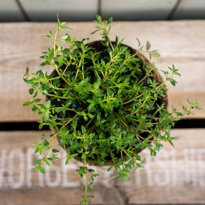 Broad-Leaved Thyme in a Hairy Pot