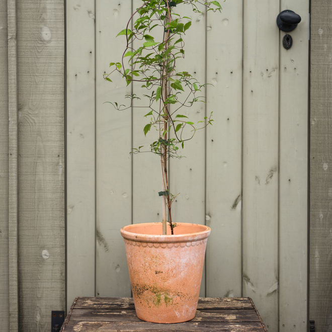 Clematis Princess Kate (terracotta pot not included)