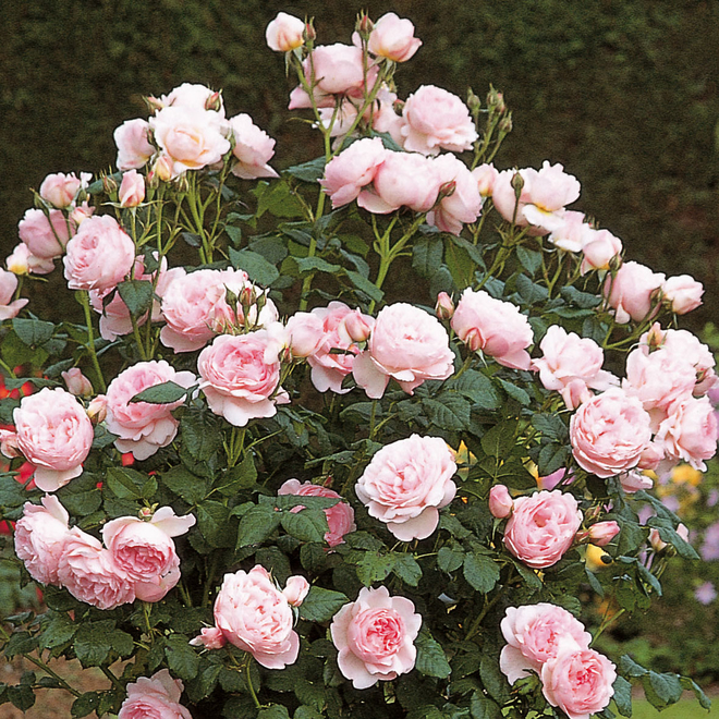 Rosa Scepter'd Isle (Ausland). Image courtesy of David Austin English Roses