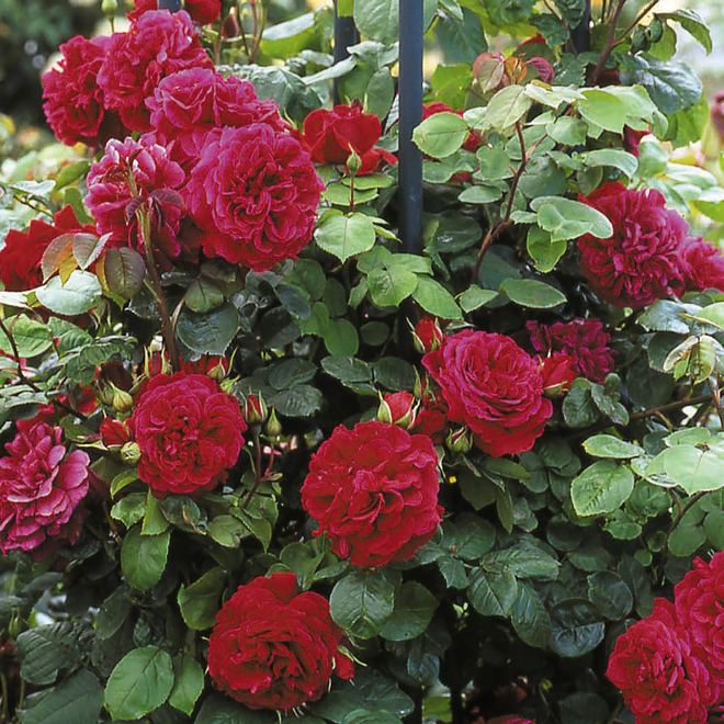 Rosa Tess of the D'Urbervilles® (Ausmove). Image courtesy of David Austin English Roses