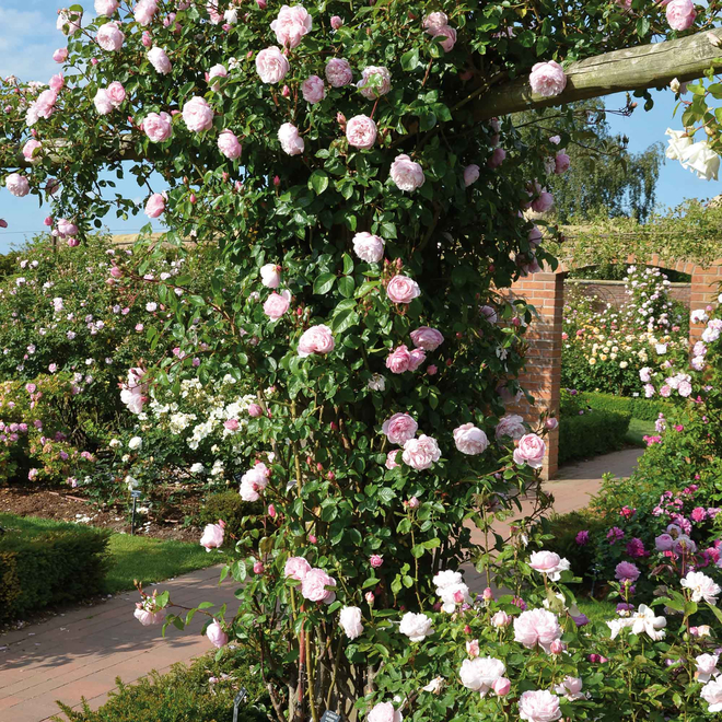 Rosa The Generous Gardener® (Ausdrawn). Image courtesy of David Austin Roses