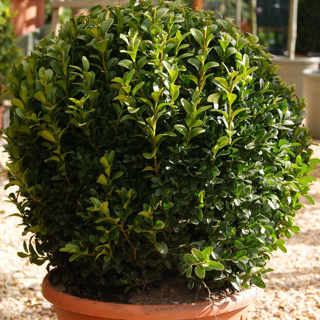 Buxus sempervirens Clipped Ball 35cm